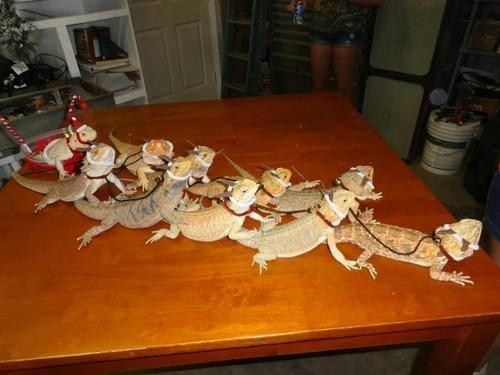 """Santa's Bearded Dragons """"Now, Nasher! Now, Gasher! Now, Beardie and Dragon! On, Scaly! On, Flakey! On, Prickly and Talon!"""""""