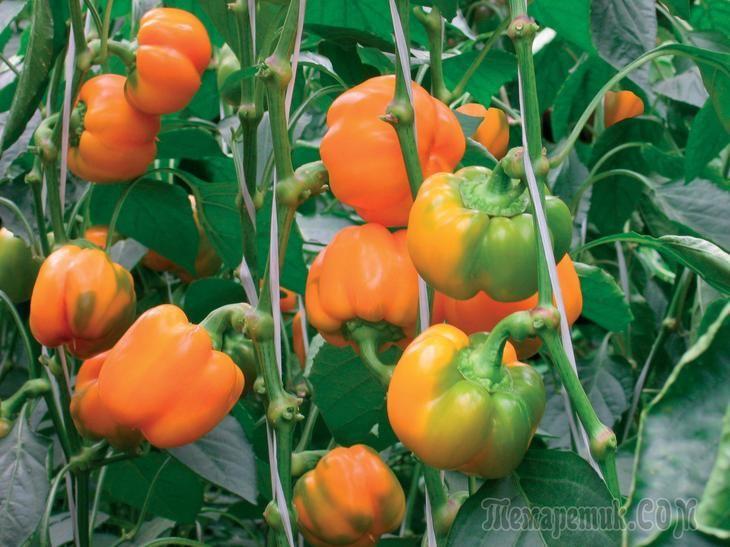 Советы, как правильно подготовить семена перца для выращивания рассады