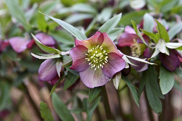 kisvirágú hunyor (Helleborus dumetorum)