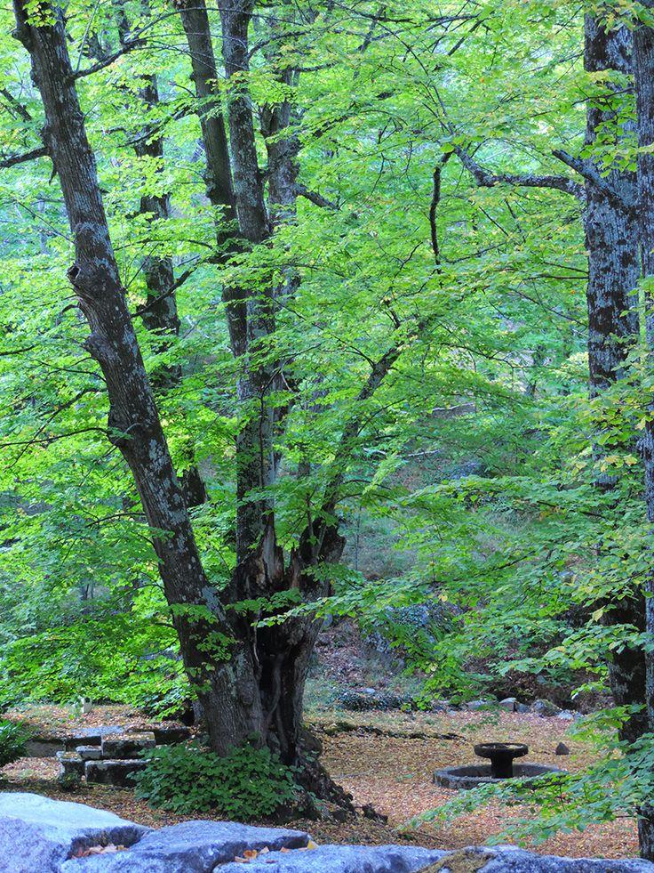 Tilo de La Mano (Tilia x europaea). http://www.elhogarnatural.com/Arboles%20singulares.htm