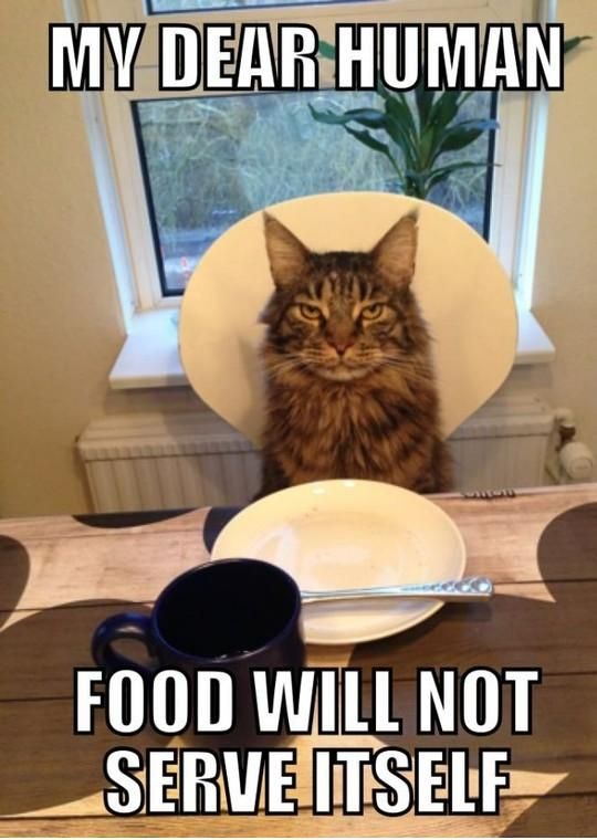 My Dear Human Food Will Not serve itself: Funnies Cats Pics, Funnies Animal, Funnies Pictures, Animal Pictures, Animal Meme, Animal Funnies, Funnies Kitty, Cats Quotes, Funnies Meme