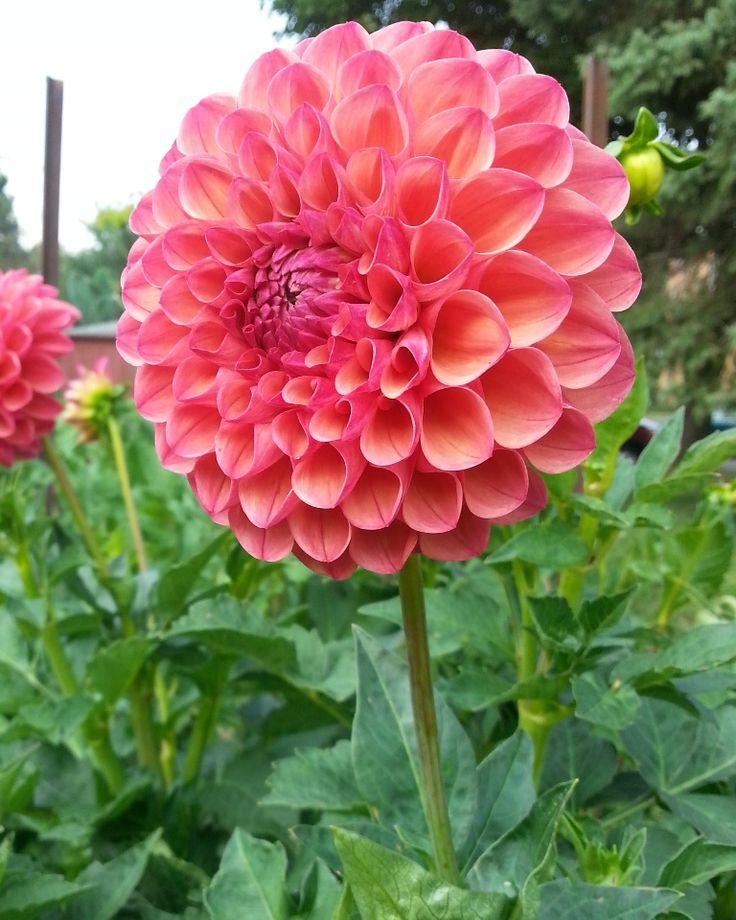 Honken DahliasRobin Hood Dahlia Flower Tuber