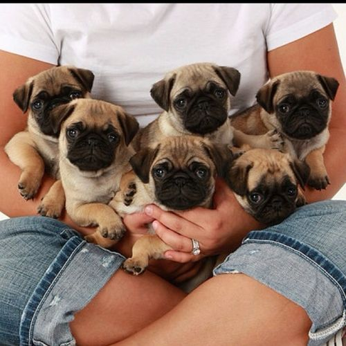 what is the group noun for a bunch of pugs? A fat roll of pugs? A snort of pugs? A sea of pugs!