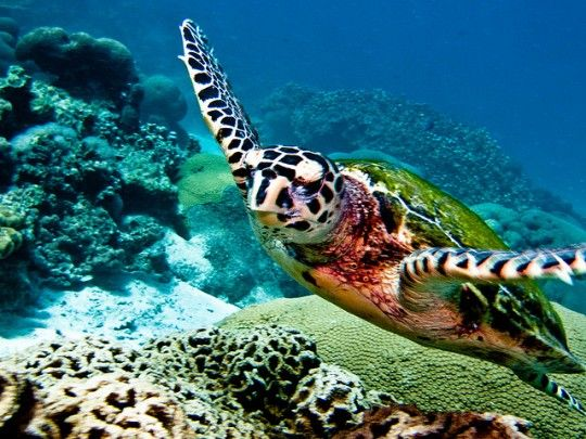 Hawksbill Turtle seen while diving in Thailand