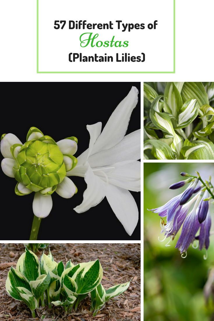 57 Different Types Of Hostas Plantain Lilies Yard And Garden