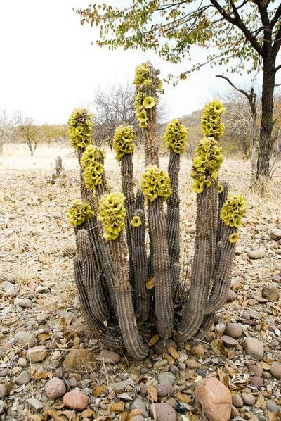 Desert - Yellow flowering cactus