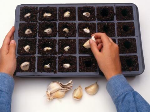 Knoblauch pflanzen | Wand & Beet