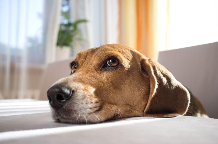 """Kutya feje az asztalon - """"Mikor jön már a vacsorám?""""  #kutya #idő #dog #time #beagle #kutyabaráthelyek #kutyabarathelyek"""