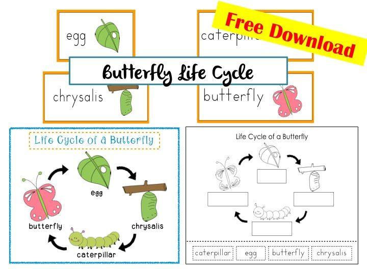 FREEBIE! LIfe Cycle of a Butterfly