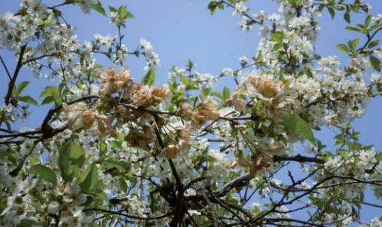 Монилиоз (коккомикоз) вишни