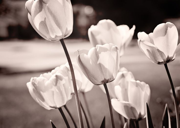 """Tulip Flower Photo, 11x14 Wall Art, Fine Art Photography, Nature Photo, Spring Flowers, Sepia Photograph, Floral Home Decor, """"Sunlit Tulips"""" by SandieConry on Etsy"""