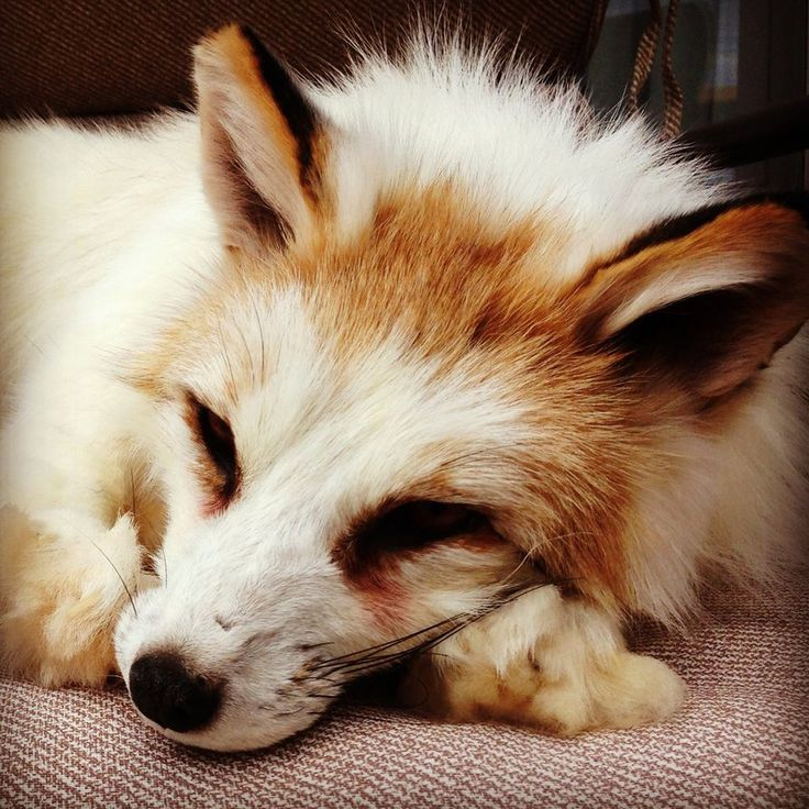 red marble fox
