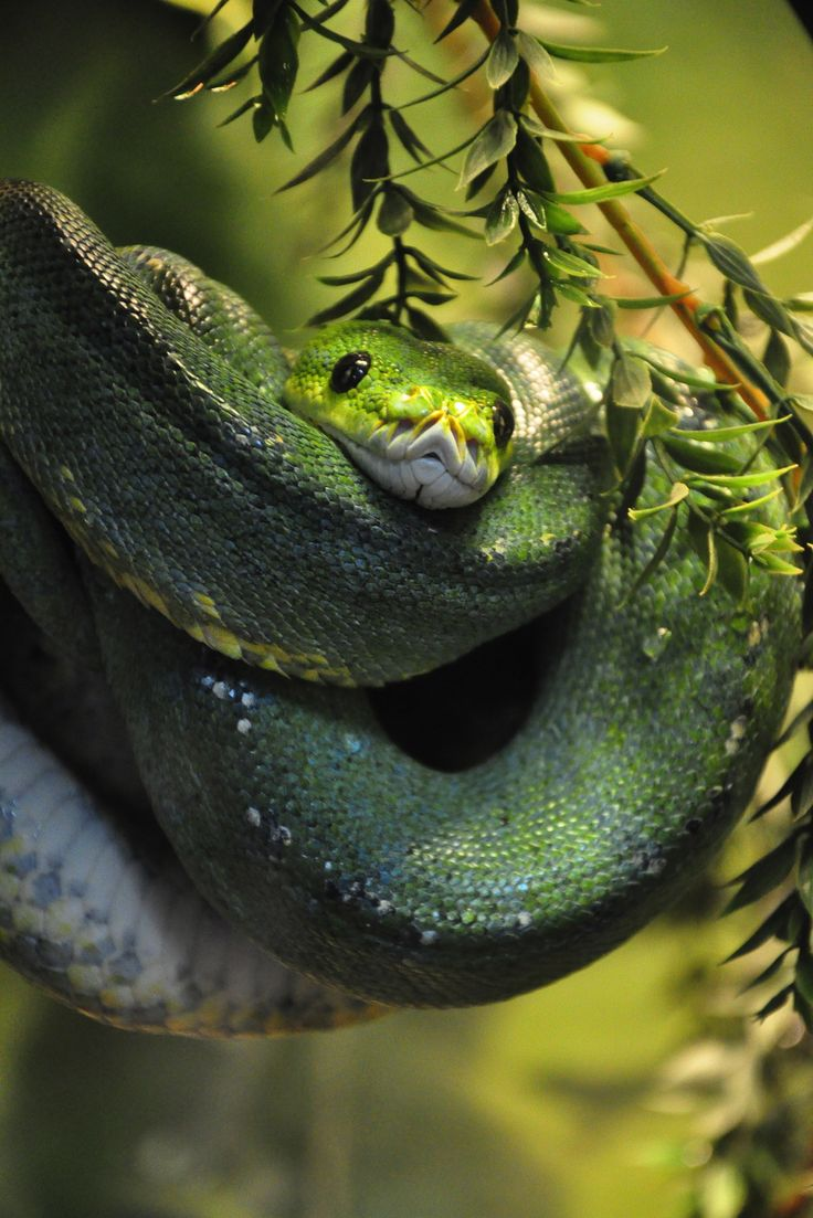 False coloring in animals - Green Tree Python