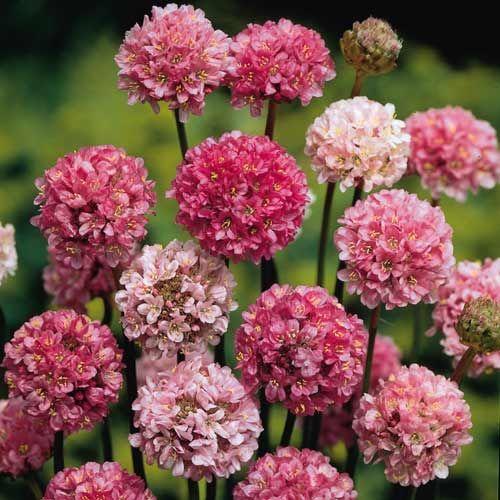 ARMERIA 'Joystick Lilac Shades' (Gazon d'Espagne) : Coussins très connus, persistants, couverts de fleurs groupées en pompons. Rocaille, bordure. Cette sélection à longue floraison possède des tiges florales plus hautes que le type et peut être utilisée pour les petits bouquets frais ou sec. Ses fleurs globuleuses sont de tons variés allant du rose soutenu au lilas clair.