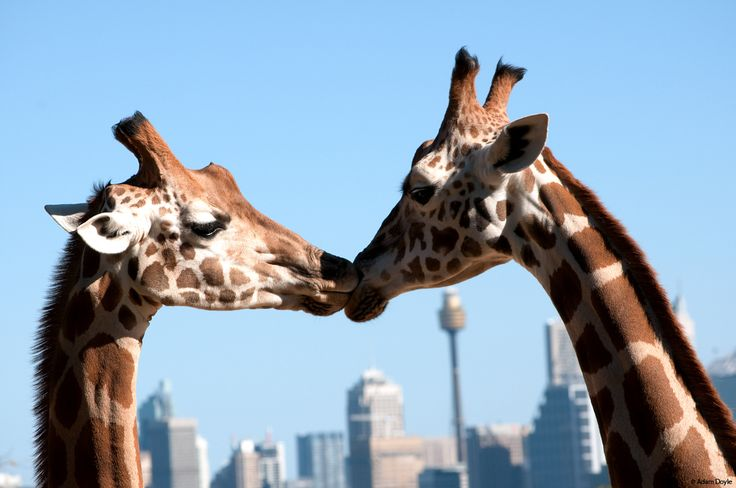 Internationaler Tag des Kusses – Nicht nur menschliche Wesen tun es, auch im Tierreich wird geküsst | vivasworld