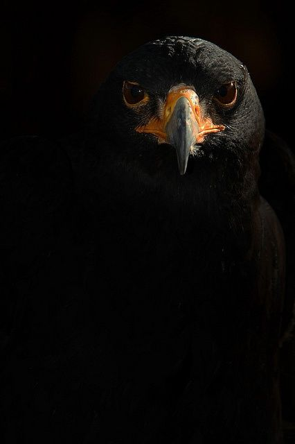 Black Eagle (Ictinaetus malayensis) of Asia, or more likely Verreaux's Eagle (Aquila verreauxii), a large African bird of prey, also known as a black eagle.