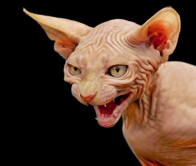 Super Plus de 25 idées magnifiques dans la catégorie Tatouage chat  ZC28