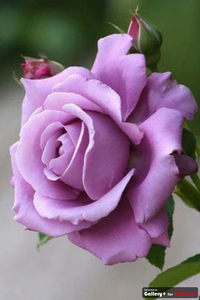 Purple Rose - Enchantment and Majesty