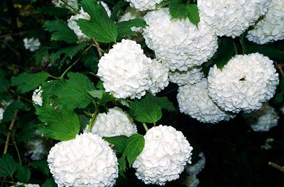 Viburnum opulus 'Roseum' AGM (Guelder Rose) Can get quite big but good in all seasons and also nice foliage so if you want to cut a branch off and bring it in the house that's all good!