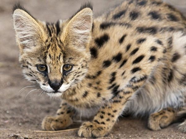 Pin By Johnny Rook On Cats In 2020 Serval Cats F5 Savannah Cat F3 Savannah Cat