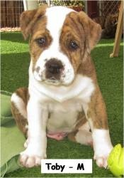 I need to stop looking at puppy pictures, I want them all.    Toby is an adoptable Saint Bernard St. Bernard Dog in San Diego, CA. Meet Toby of Tessa's litter! � **The breed listed is our best guess at this time. This litter has been very hard to determine what ...
