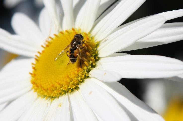 Wilt u ook van die blije bijen in de tuin? Plant de juiste planten in uw tuin om ze aan te trekken! Dit nuttige insect zorgt ook voor de bestuiving van de bloemen in uw tuin #ECOstyle #insecten #biodiversiteit