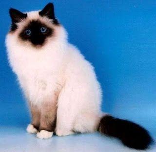 kucing birman untuk dijual,ragdoll,birman harga,