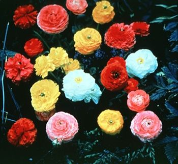Ranunculus; Persian buttercup. These remind me of alice in wonderland.