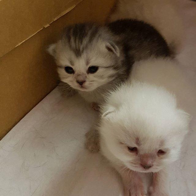 Сладкая черная девочка уже всем интересуется)) интересно, кому достанется такое счастье)) #cat #cats #kitten #кот #кошка #коты #кошки #котята #котенок #серебристаяшиншилла #шиншилла #британскийкот #британскиекошки #британцы #silvershaded #british #britishshirthair #britishcat #cattery #catteryreventon #reventon #питомникбританскихкошек #virginiavampvioladamore #instacat #catofinstagram #эмики3 #продажакотят #catsofday