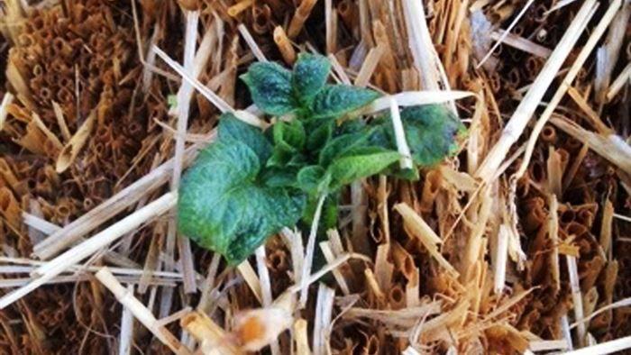 DR Netradio: Hør Natursyn: Dyrk grøntsager i halmballer på DR P1