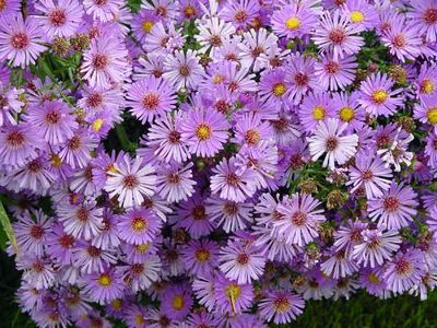 Asters  Fall Blooming