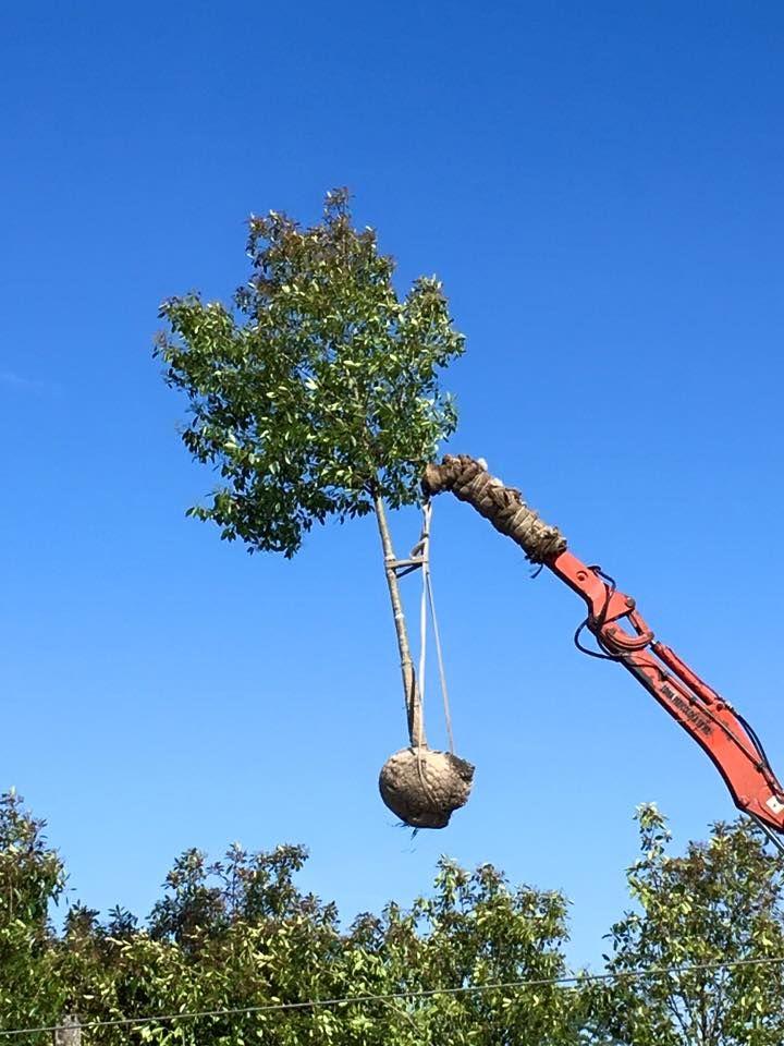 """Photinia x fraseri """"Red Robin"""" - albero con chioma espansa naturale - cfr 20-25 - tree with natural crown - Baum mit ausdehnender Krone"""