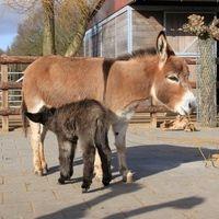 Merries | Will Power - mini ezel, mini-ezels, Mini-Paarden, Mini paard, miniatuur-ezel, ezelfokkerij