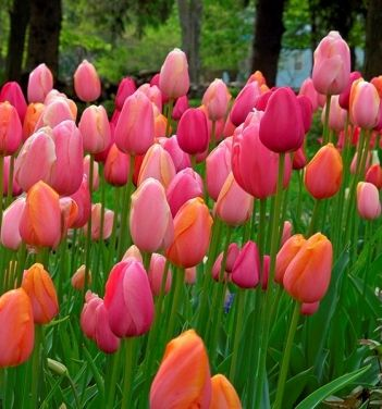 """""""French Blend Rose"""" tulips! My wedding flowers were tulips. One day the hubs & I will plant a garden full of our own!"""
