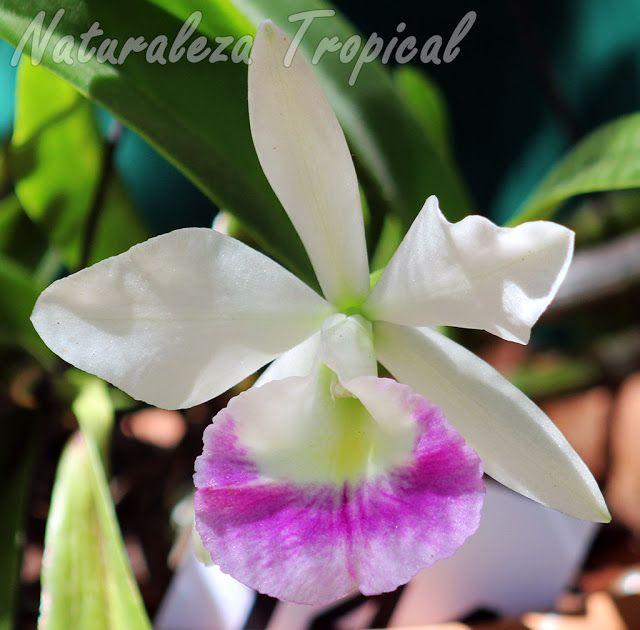 Ventajas y desventajas del cultivo de orquídeas