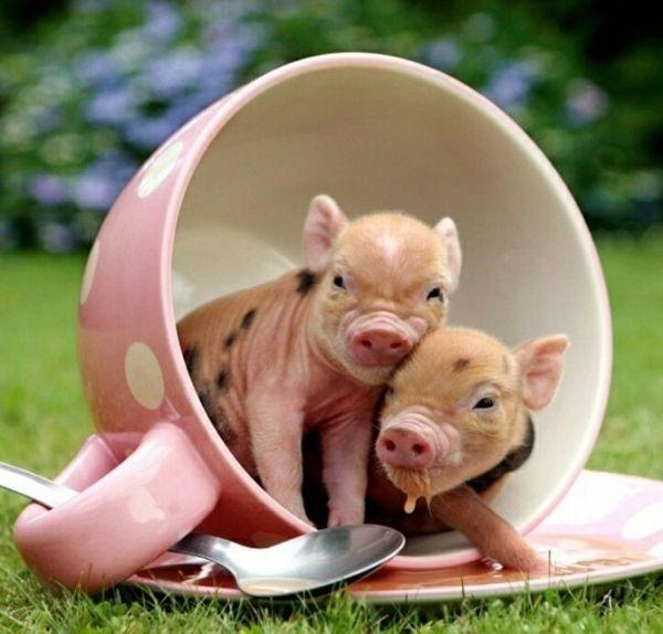 ber ideen zu teacup schweinchen auf pinterest teacup schwein schweine und tiere. Black Bedroom Furniture Sets. Home Design Ideas