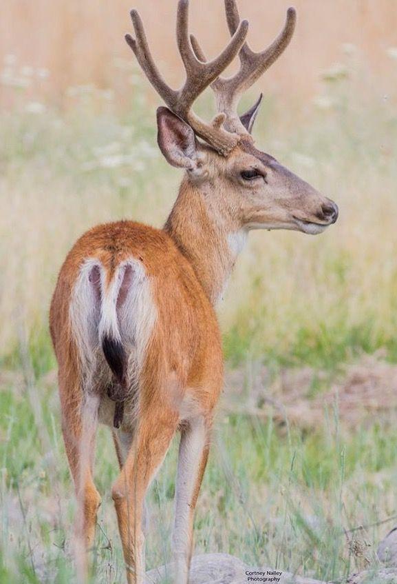 49 Best Mule Deer Reference Images On Pinterest Deer Mule Deer