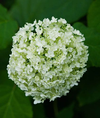 Tania laurie, london. Close up of white flower / Bloom of hydrangea arborescens 'annabelle'