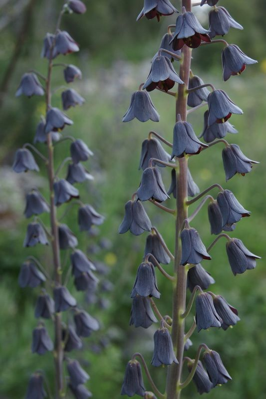 """Fritillaria Persica   - i have a weakness for """"black"""" flowers"""