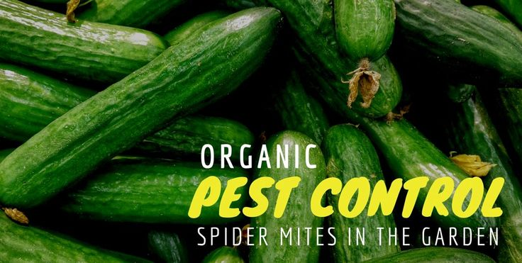 Spider mites can be difficult to get rid of just using organic pesticides, but that doesn't mean it's time to switch to another non organic solution. When you use those non organic chemicals, you run the risk of damaging the soil food web that your plant thrives in. On my farm, the spider mites …