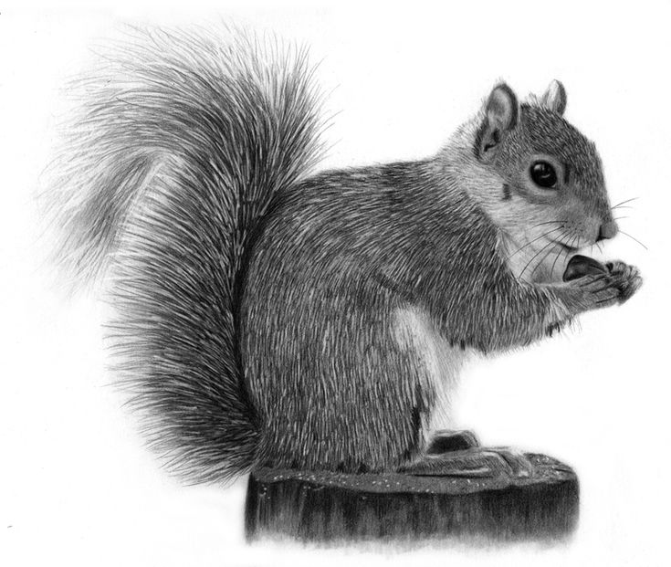 how to draw a realistic squirrel - Google Search | Drawing ...