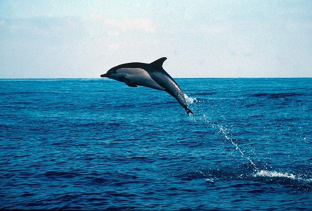 Pocket Rocket - Common Dolphin