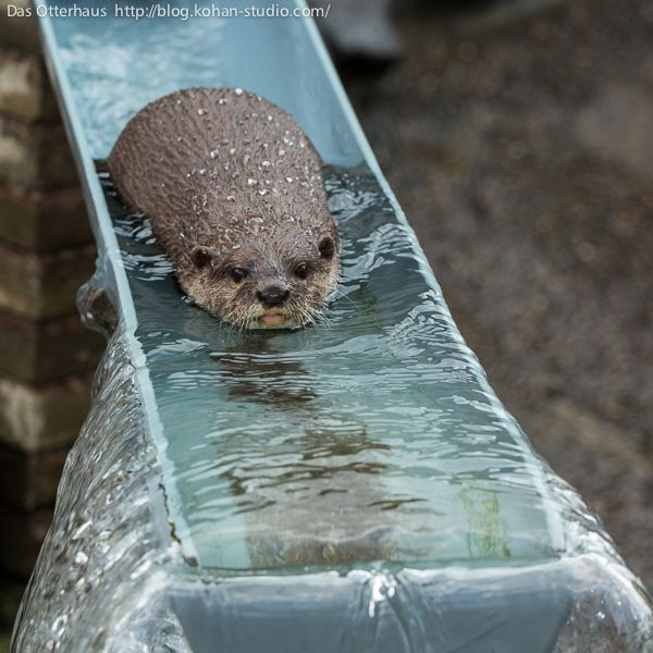 Otter Slides Down a Water Slide