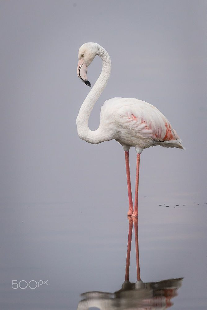 Fluffy White Flamingo by Jacques-Andre Dupont on 500px