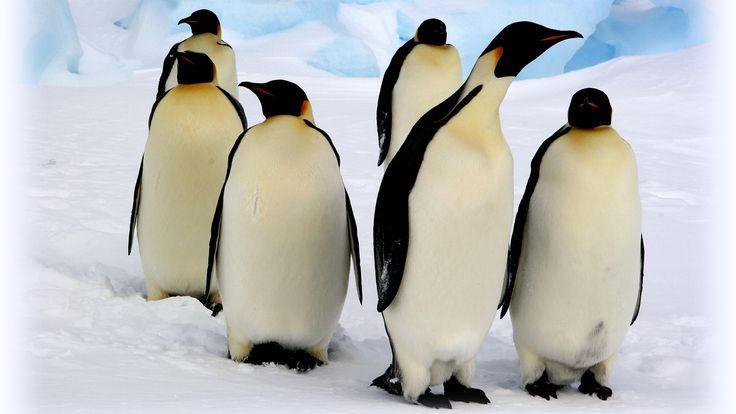 emperor-penguin-group-snow.jpg