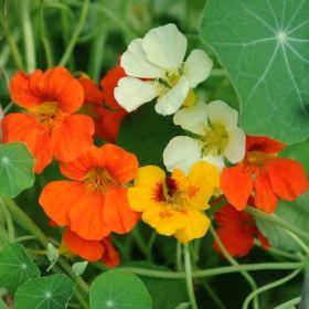 SLINGERKRASSE 'Mix' i gruppen Ettåriga blomsterväxter hos Impecta Fröhandel (88001)