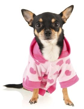chihuahua-rat terrier mix in a sweater
