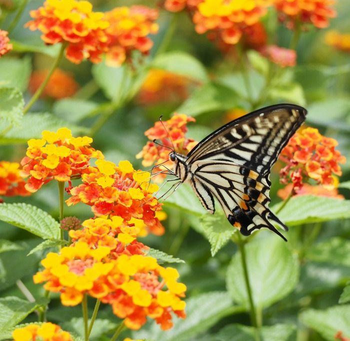 Plants That Don T Need Deadheading Lantana Plant Flowers That Attract Hummingbirds Plants