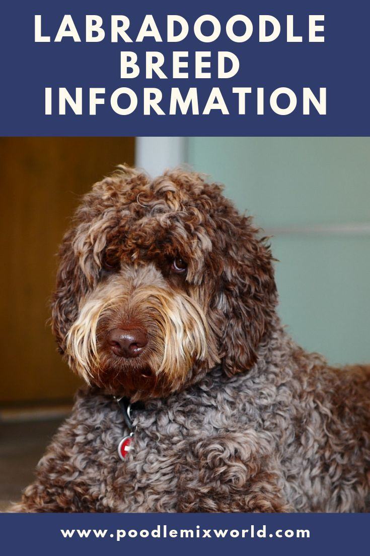 The Labradoodle Is A Hugely Popular Breed Discover Its History