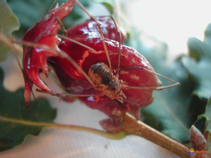 Andricus dentimitratus (= viscosus)